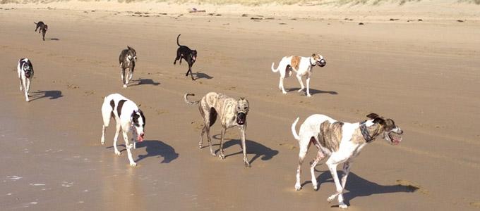 Greyhound contact