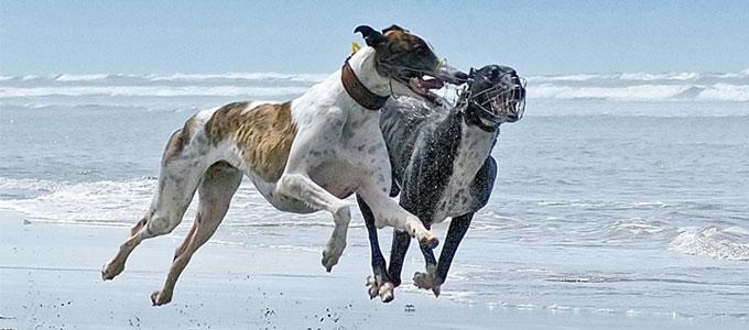 Greyhound Trainers